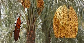 King Saud University's Date Palm Weevil Chair Continues Quest to Protect Major Kingdom Industry