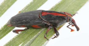 3rd Workshop and International Training Program on Red Palm Weevil Management slated for May 19-23